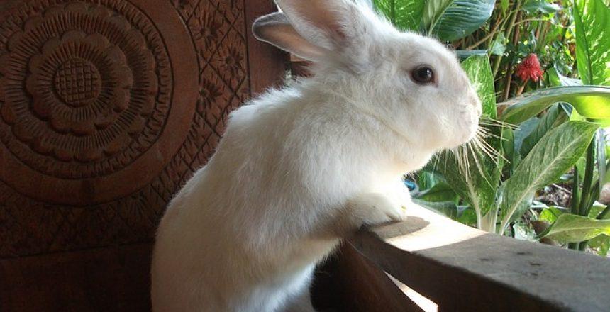 גידול ארנבות